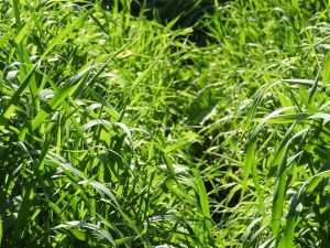 Grass Adelaide